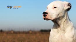 Dogo Argentino Türü Köpekler Hakkında Bilgiler