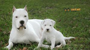 dogo argentino cinsi köpek hakkında