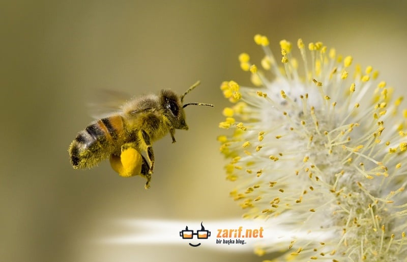 Arı Sokmaz