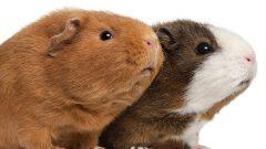 Hamster ve Ginepig Benzerlikleri Nelerdir?