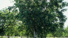Nazım Hikmet Ceviz Ağacı Şiirinin Hikâyesi