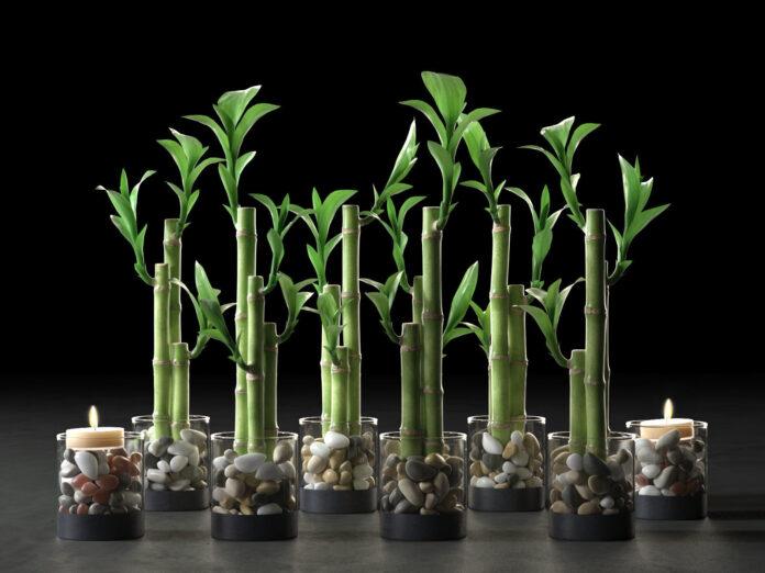 Şans Bambusu Bakımı Nasıl Yapılır